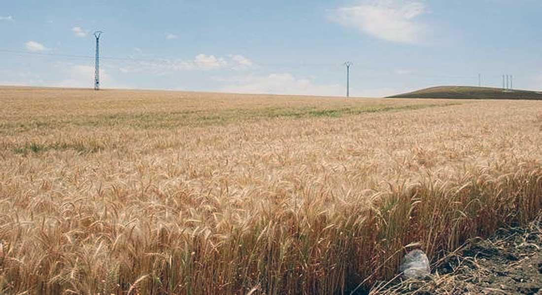 OAIC: une autosuffisance à hauteur de 90% en blé dur et de 100% en orge à partir de 2020