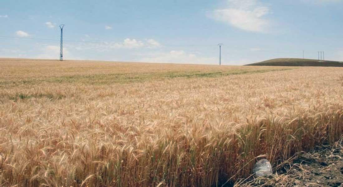Céréales: la production nationale en 2018 supérieure aux années précédentes